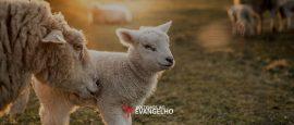 vida-de-ovelha-2019